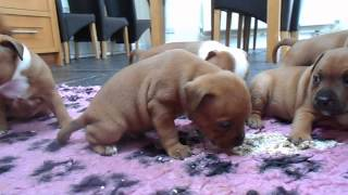 Yazash Staffordshire Bull Terrier Puppies With Mother (red Male)