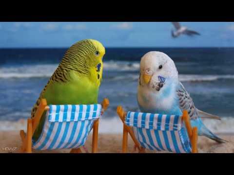Веселое пение, озорное чириканье волнистых попугайчиков