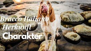 bracco italiano farben & #bracco_ italiano