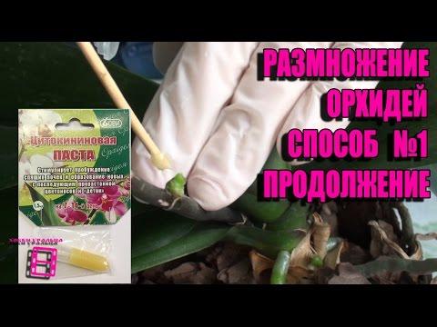 Размножение орхидей фаленопсис. Способ №1(продолжение). Цитокининовая паста в действии #Орхидеи