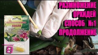 Размножение орхидей фаленопсис. Способ №1(продолжение). Цитокининовая паста в действии #Орхидеи(Размножение (уход) орхидеи фаленопсис с помощью цитокининовой пасты в домашних условиях. Орхидея домашняя..., 2016-03-25T04:11:10.000Z)
