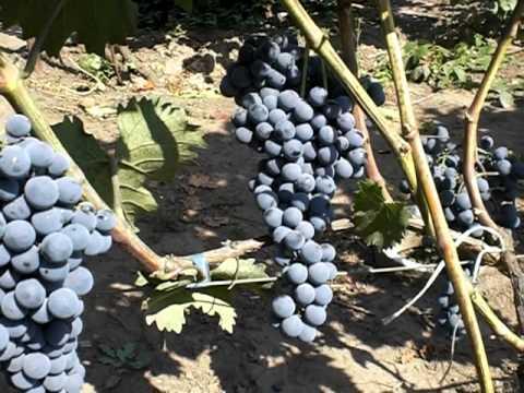 Ищите вино в киеве?. ✵ интернет-магазин goodwine. Com. Ua купить вино по лучшей цене в киеве. Заказать с доставкой.