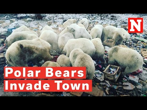 Polar Bears Invade Russian Arctic Town