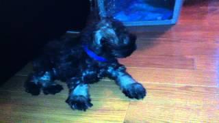 Very Cute Mini Schnauzer Puppy Vs Shiba Inu Puppy