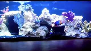 Stunning Saltwater Aquarium 300 Gal Fowlr Rare Marine Fish Golden Puffer Trigger Angelfish Eel