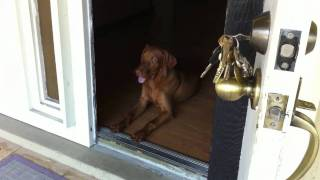 Luke Skywalker The Vizsla - Aka Hungarian Pointer - Front Door Training And Tips.