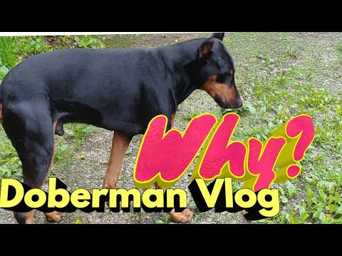 Trust Your Dog, Here's why. Doberman Pinscher Vlog