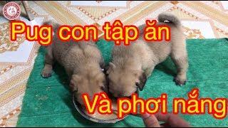 Cho Pug con ăn bột và tắm nắng | Trại Chó Bình Cao .
