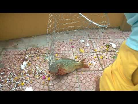 Câu cá chép tại hồ câu cá dịch vụ Phố Chùa Láng #Fishings