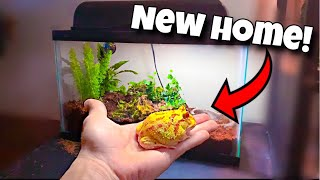 my-albino-pacman-frog-gets-new-home