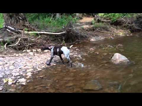 """German Shorthair Pointer """"Duke"""" Swimming in Lester Creek"""