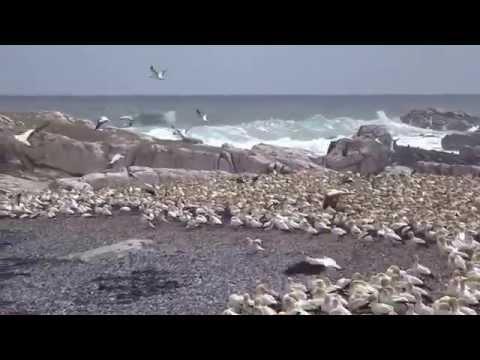 ケープシロカツオドリ@ランバーツベイ Cape Gannet@Lambert's Bay, South Africa