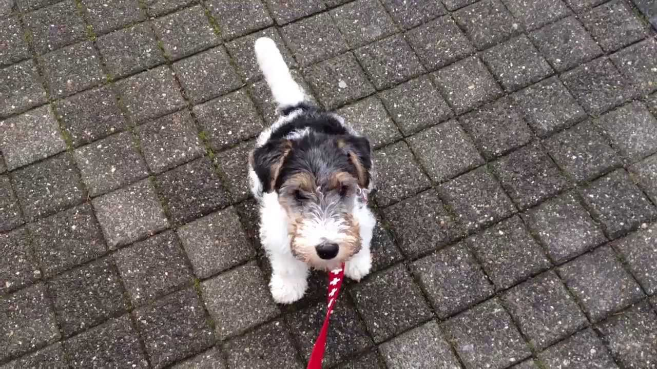 Charly !!! Drahthaar Foxterrier !!! - YouTube