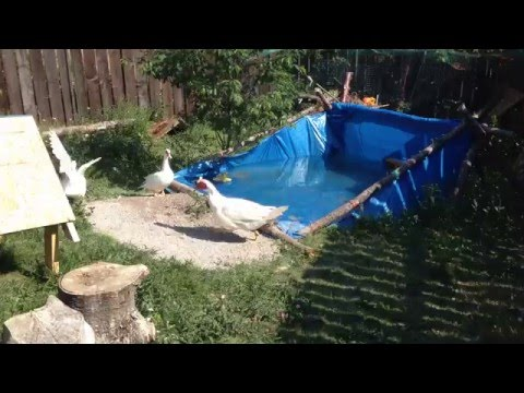 Muscovy ducks and ducklings in tarp pool youtube - Duck repellent for swimming pools ...