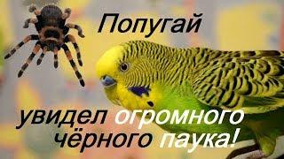 Приколы с попугаями / Реакция попугая на паука