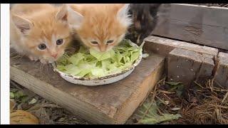 Эти рыжие котята,принесут Вам кучу денег! - жрут капусту