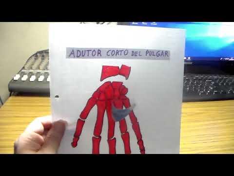 Anatomia p-guitarristas, adutor corto del pulgar por CRGomez - YouTube