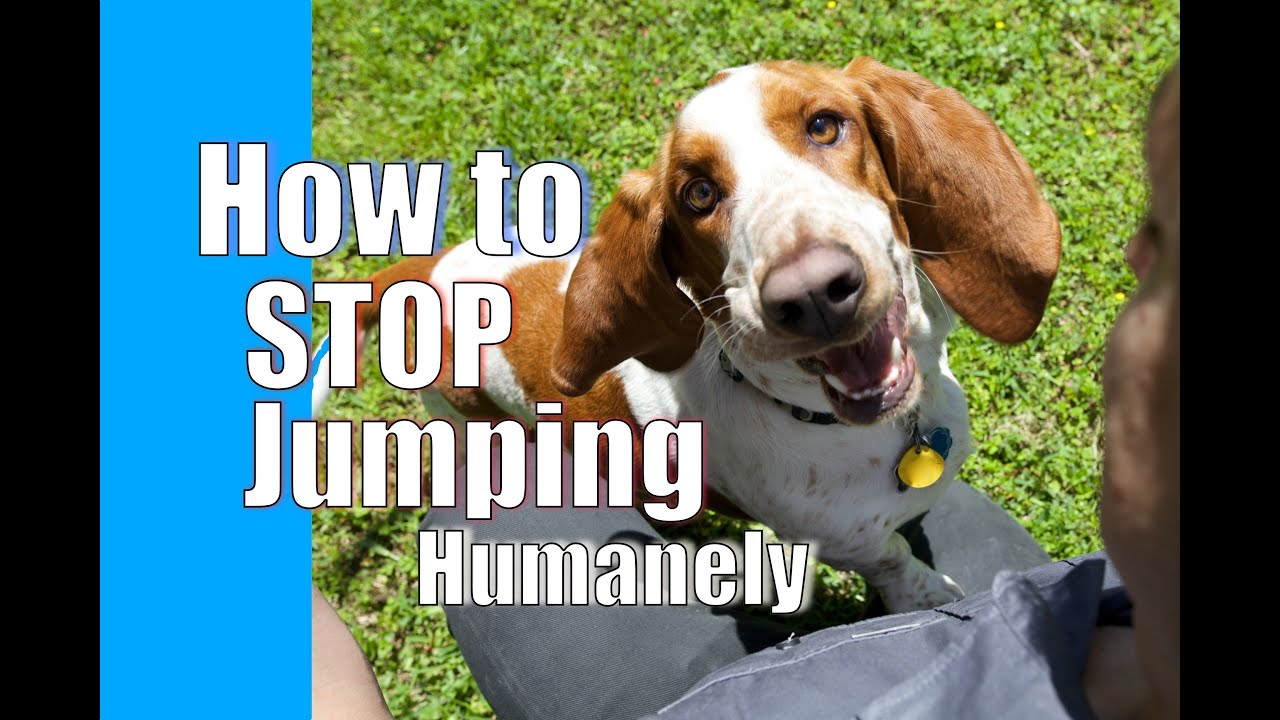 How To Train Your Dog To Stop Jumping On People Youtube