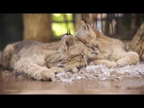 3 Lovable Lynx Cubs