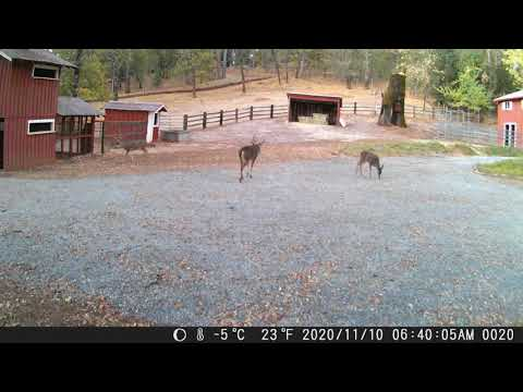 A Couple of Bucks Caught on Front Trail Cam