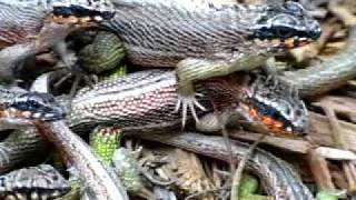 Haitian Jeweled Curly-Tailed Lizard Video 001, David Barkasy, REPTILESTOGO.COM