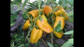 YELLOW YELLOW PEPPERS
