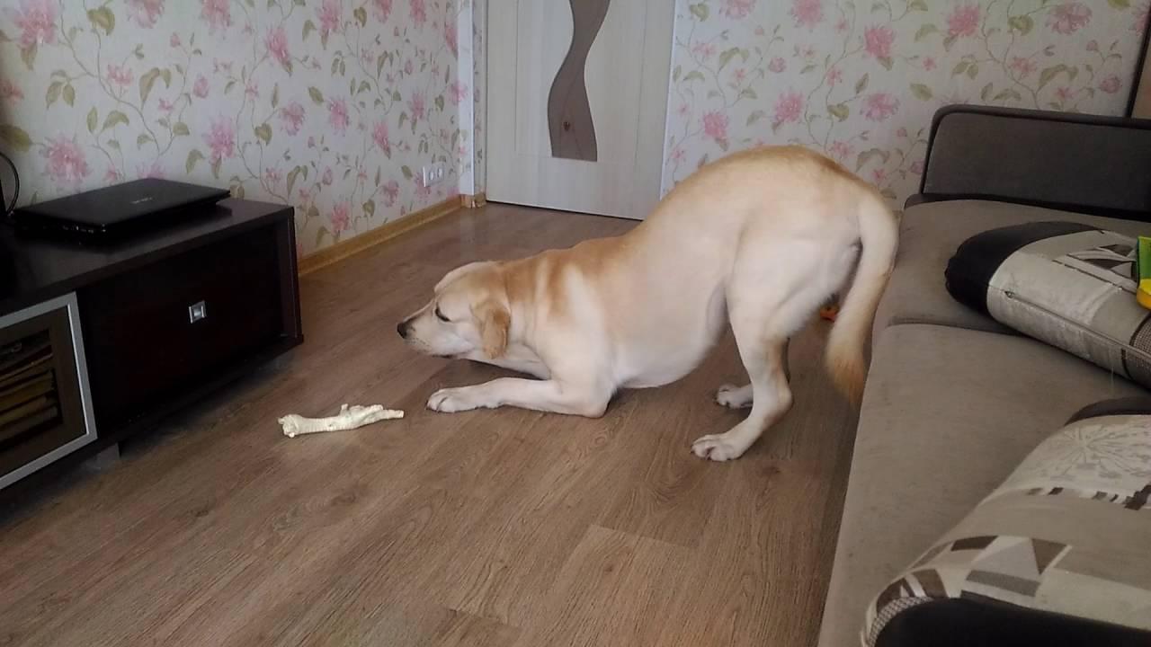 Собака лает и боится косточки