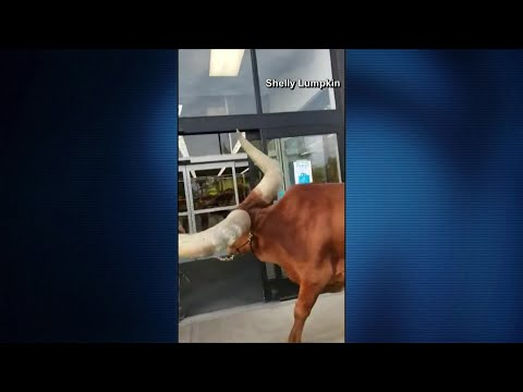Andy Preston - Man Brings Cow To Petco To Test All Leashed Pets Welcome Rule