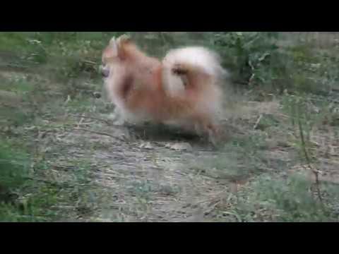 Pomeranian doggy for sale, super-mini girl