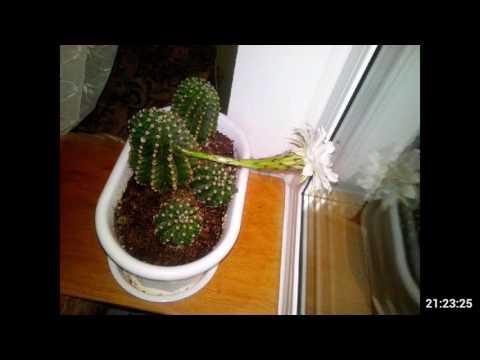 Как зацветает кактус Эхинопсис Эйриеза (Echinopsis eyriesii)