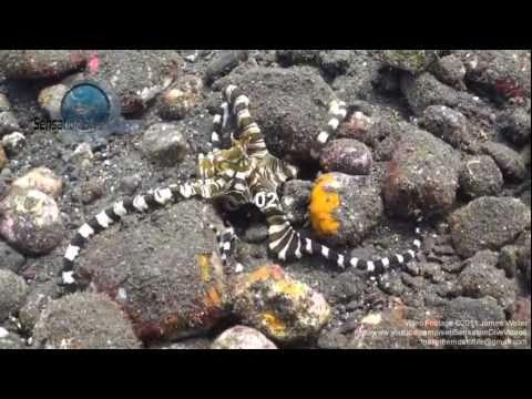Wonderpus (wunderpus photogenicus) Underwater Stock Footage.mp4