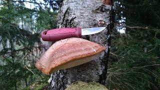 05 | Pilze des Waldes: Der Birkenporling (Heilpilz)