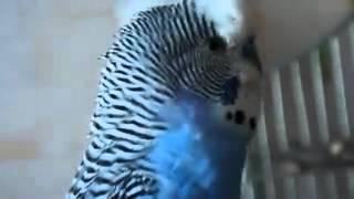 Кеша красавчик говорящий попугай.mp4(Это видео загружено с телефона Android., 2012-04-18T07:45:14.000Z)