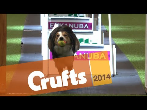 Flyball | Team | Semi Final | Crufts 2014