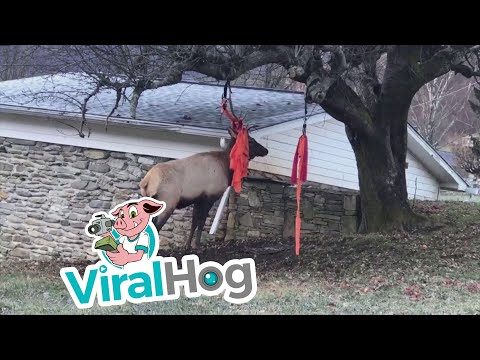 Pet Central - North Carolina deputy helps free an elk caught in a hammock