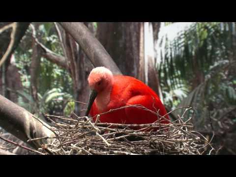 Blijdorp Rode Ibissen HD 1080p