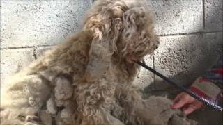 Beautiful Transformation of Rescued Poodle