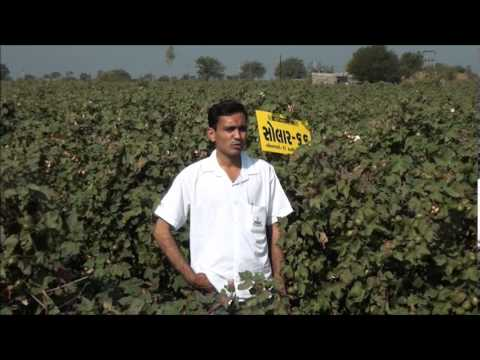 Solar-76 BGII and Solar-66 BGII Cotton - Gujarat Farmer Testimony (Gujarati)