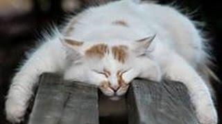 Смешное видео про кошек 2015