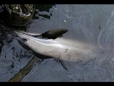 Dolphin Found at Sandingan, Loon Shore before the 7.2 Magnitude in Bohol Happened