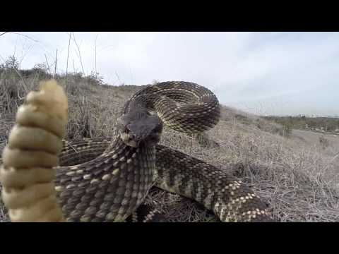 Rattlesnake Bite GoPro Hero 3 and UK Pro Pole