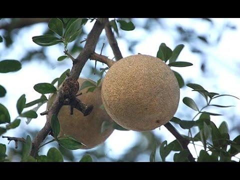 Limonia Acidissima Wood Apple Bael Fruit Youtube