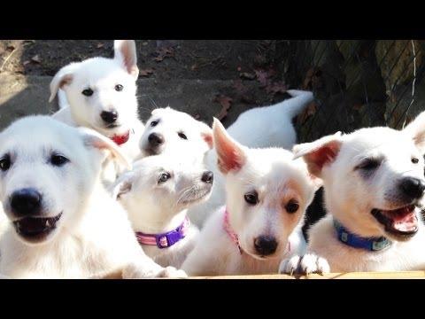 Barking White German Shepherd Puppies