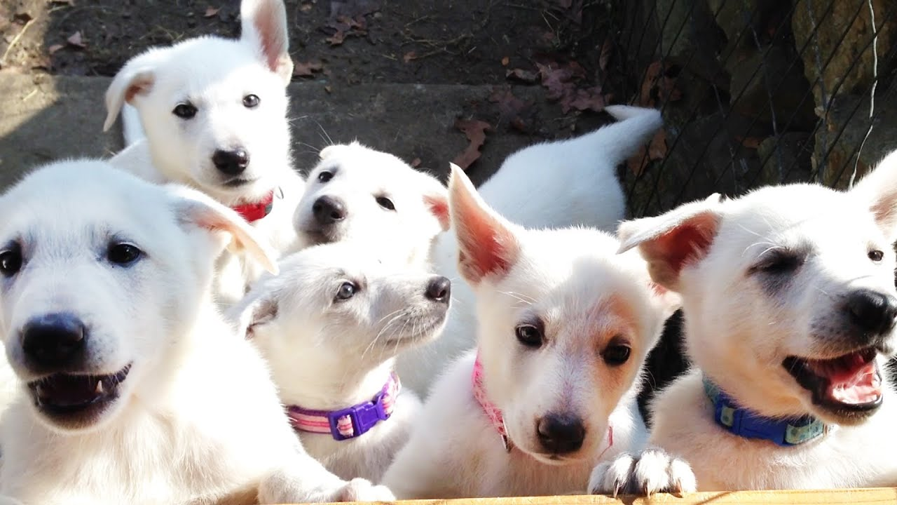 Baby White German Shepherd For Sale Goldenacresdogs Com