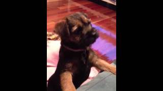 Border Terrier Puppy 11 Weeks Old