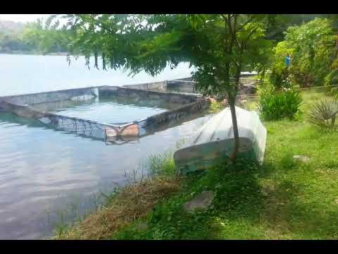 Crianza de tilapia en jaulas flotantes en la laguna youtube for Cria de mojarra en estanques