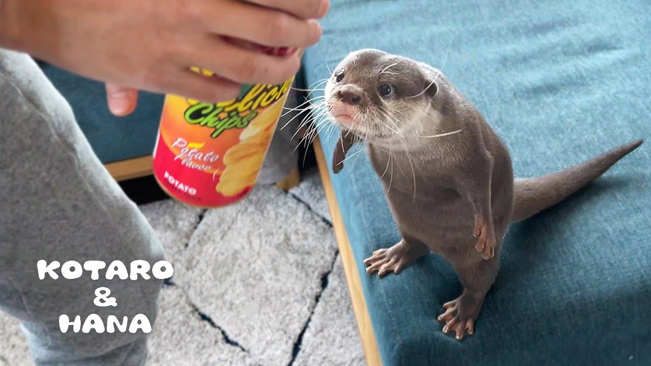 カワウソにポテチドッキリしたら中身が大変なことになった。。。 Otter Reacts to Chips Snake Prank