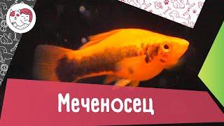 Аквариумная рыбка меченосец. Особенности. Уход.