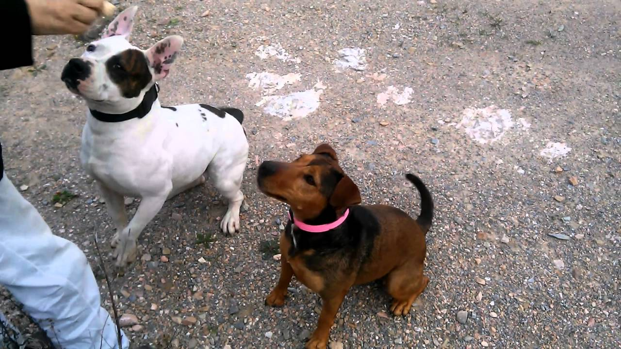 Pitbull/jagdterrier mix & pitbull/amstaff mix - YouTube