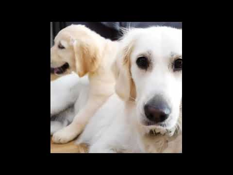 Golden Retriever Puppies Funny Compilation #14 - Best of 2017